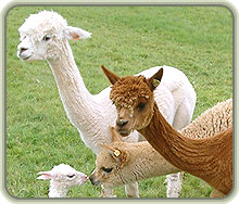 Small family group of alpacas