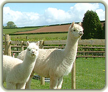 Pair of white Alpacas