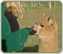 Woman with Alpaca