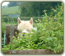 Alpaca peeping over hedge